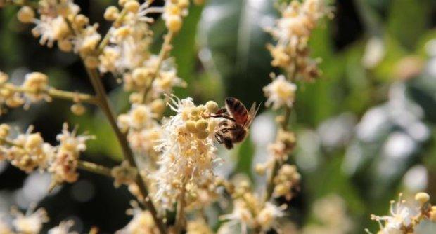 น้ำผึ้งจากดอกลำไย