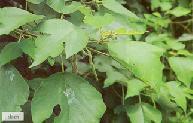 พืชที่ใช้ทำกระดาษ