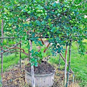"""""""ปลูกมะนาวแป้นดกพิเศษบนต้นตอส้มโวลคา-เมอเรียน่า"""""""