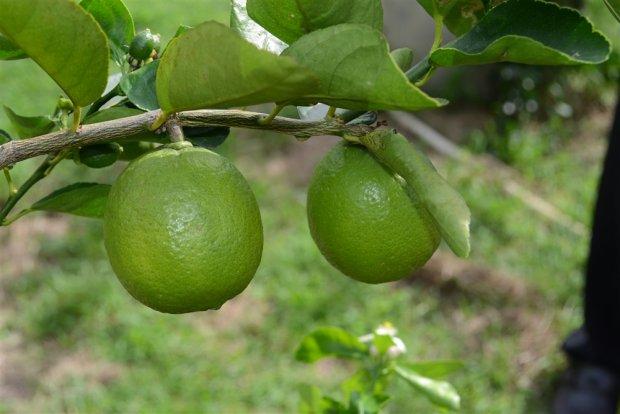 ปลูกมะนาวนอกฤดู 1 ไร่ ได้ 1 แสน