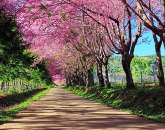 ผู้ว่าฯ เชียงราย ผุดไอเดีย สร้างถนนดอกซากุระ สั่งซื้อจากญี่ปุ่น