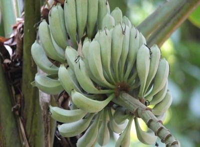 กล้วยป่า