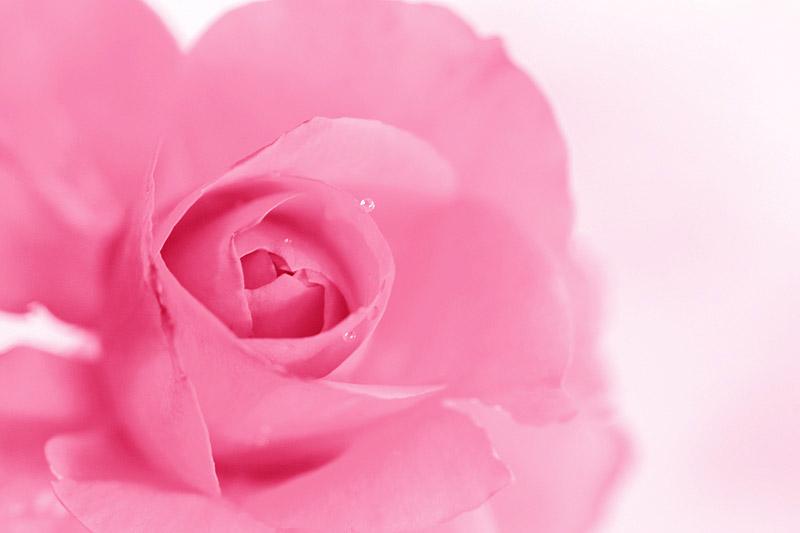 ตำนาน ดอกกุหลาบ กับความหมายดี ๆ