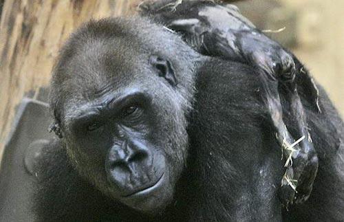 ลิงกอริลลาเป็นต้นตอ เชื้อไวรัสโรคเอดส์เพิ่มขึ้นอีกสายพันธุ์หนึ่ง