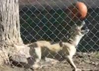 ชมด่วน คลิป หมาเดาะบอลขั้นเทพ