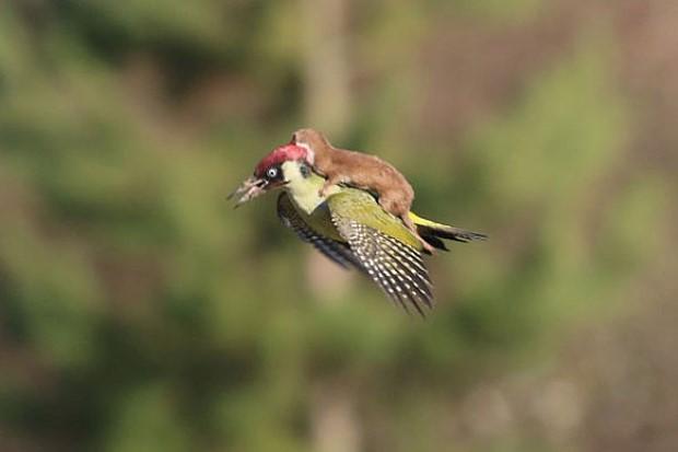 """ภาพหาชมยาก! """"ลูกเพียงพอน"""" ขี่หลัง """"นกหัวขวาน"""""""