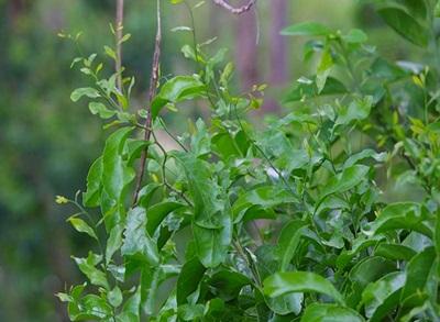 ปลูกผักหวานป่าในพื้นที่ราบ