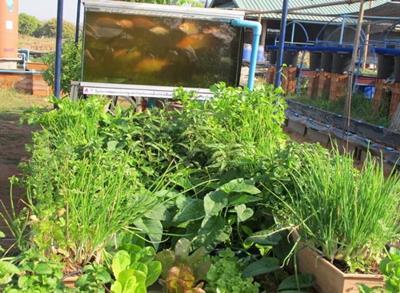 อะควาโพนิค ต้นแบบสวนครัวยุคใหม่...ปลูกผักเลี้ยงปลา