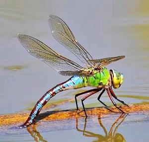 ทำไมแมลงปอต้องบินไปแตะผิวน้ำ