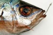 สัตว์พวกปลาไม่มีความรู้สึกเจ็บปวดเลย โดนถูกเบ็ดเกี่ยวดิ้น ก็ไม่ได้ตกอกตกใจ(วิทย์)