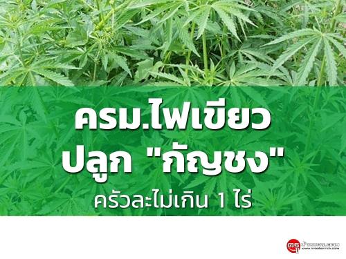 """ครม.ไฟเขียว """"กัญชง"""" ปลูกได้ครัวละไม่เกิน1ไร่ พืชเศรษฐกิจไทยตัวใหม่"""